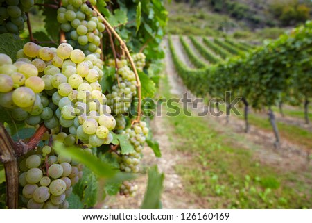 Vineyard with ripe white vine Riesling grapes in Germany - stock photo