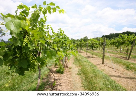 Vineyard with white grapes growing - stock photo