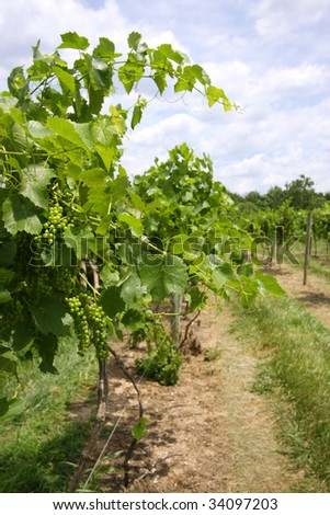Vineyard with white grapes growing (vertical) - stock photo