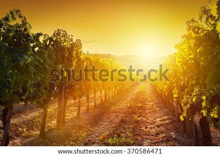 Vineyard wonderful landscape in Tuscany, Italy. Wine farm at sunset - stock photo