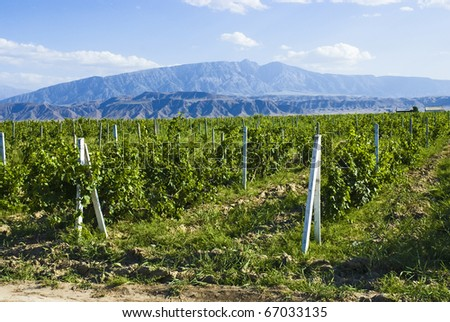 vineyards against the backdrop of the mountains.Turkmenistan. - stock photo