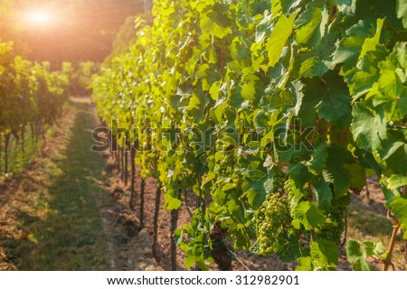 Vineyards and grapes at sunset in autumn harvest - stock photo