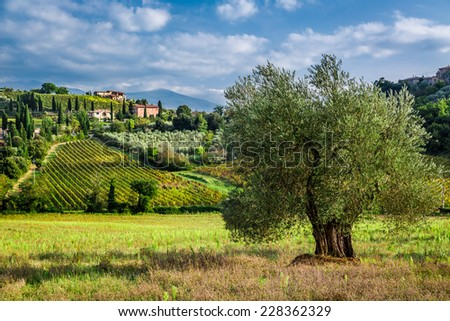 Vineyards and olive groves in Tuscany - stock photo