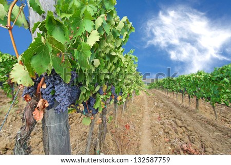 Vineyards and ripe grapes. Picture of winery garden, blue sky, beautiful agricultural landscape, harvest season, grapes valley, Tuscany, countryside, Italy