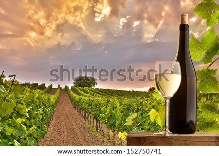 Vineyards at sunset in a beautiful summer evening