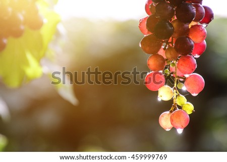 Vineyards at sunset in autumn harvest. Ripe grapes in thailand - stock photo