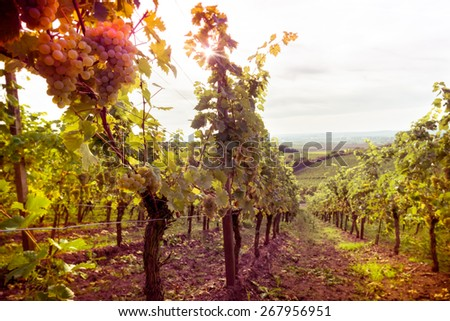 Vineyards at sunset in autumn. Ripe bunches of wine grapes in fall - stock photo