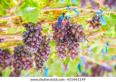 Vineyards autumn harvest. Ripe grapes in fall.  - stock photo