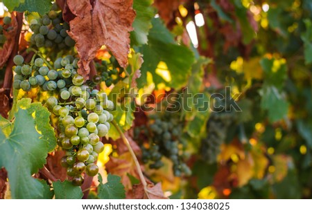Vineyards in autumn - Grapes close up. - stock photo