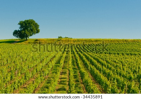 vineyards in bordeaux - stock photo
