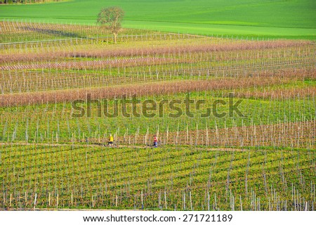 Vineyards in Germany.
