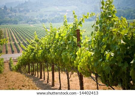 Vineyards in Napa, California - stock photo