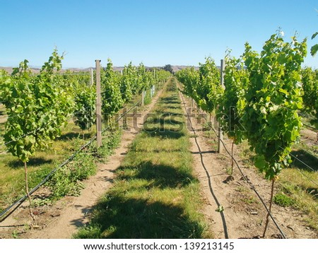 Vineyards in New Zealand - stock photo