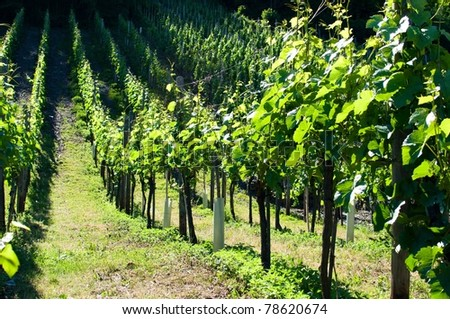 vineyards in Rhineland - Germany