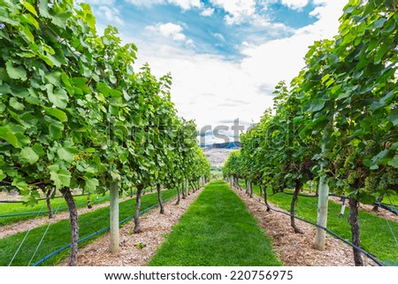 Vineyards in rows and blue sky - stock photo