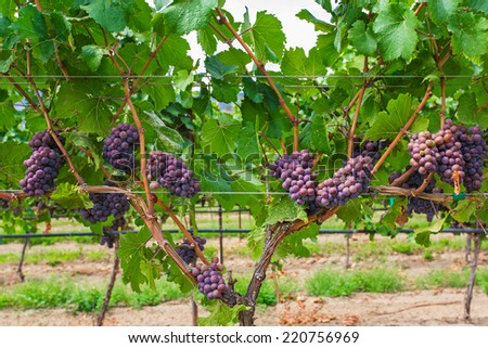 Vineyards in rows, bunch of ripe grapes - stock photo