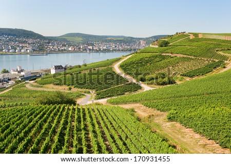 Vineyards in Rudesheim am Rhein - stock photo