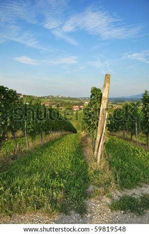 Vineyards in summer. Skalce, Slovenske Konjice, Slovenia - stock photo