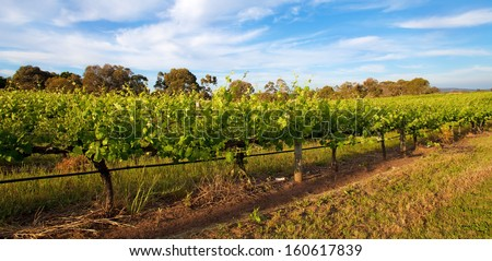 Vineyards in Swan Valley, near Perth, Australia - stock photo