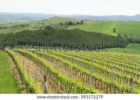 Vineyards in Tuscany, Italy - stock photo