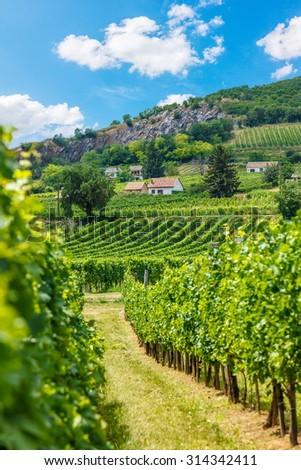 Vineyards in Villány wine region, Hungary, summer of 2015 - stock photo