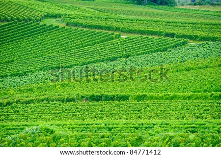 Vineyards nearby Oppenheim/Germany