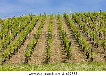vineyards of Cote Maconnais region near Fuisse, Burgundy, France - stock photo