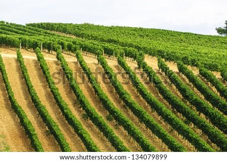 Vineyards of Montalcino (Siena, Tuscany, Italy) at summer - stock photo