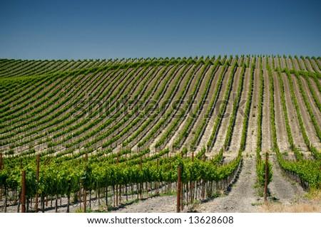 vineyards of napa valley, usa - stock photo