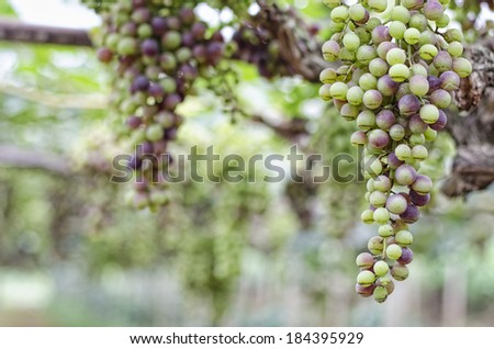 Vineyards of northern Thailand. - stock photo