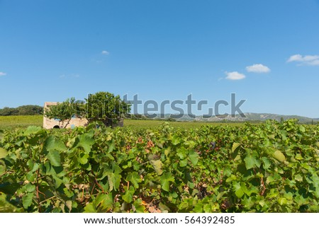 Vineyards of southern France with two trees beside old stone home with blue shutters near Corneilhan Languedoc-Roussllon region France.