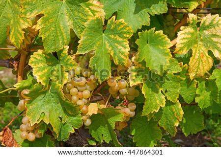 Vineyards of the Lavaux region over lake Leman (lake of Geneva) - stock photo