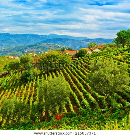 Vineyards on the Hills of Portugal in the Fall - stock photo
