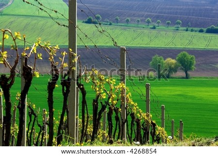 Vineyards on the steep field - stock photo