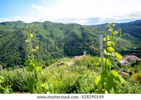 Vineyards with grape vines in early summer in Italy, Europe - stock photo