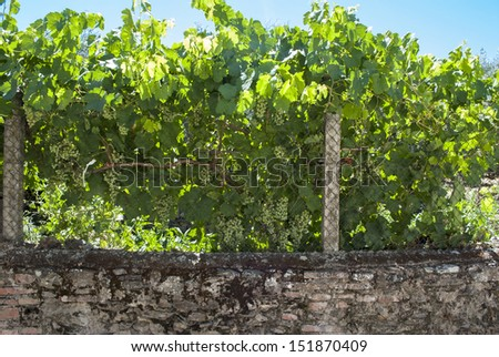 vineyards with grapes to harvest