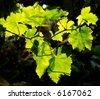 vineyrad leaves - stock photo