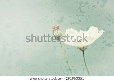 Vintage background of Beautiful single white Cosmos flowers  - stock photo