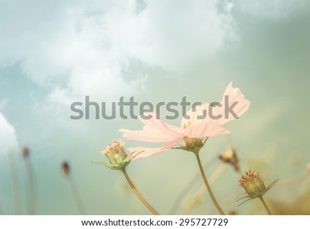 Vintage background of Beautiful single white Cosmos flowers