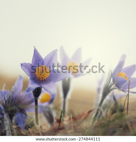 vintage big wild flowers snowdrops on outdoor nature background