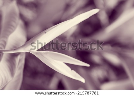 vintage bird of paradise flower, heliconia flower with green leaf - stock photo