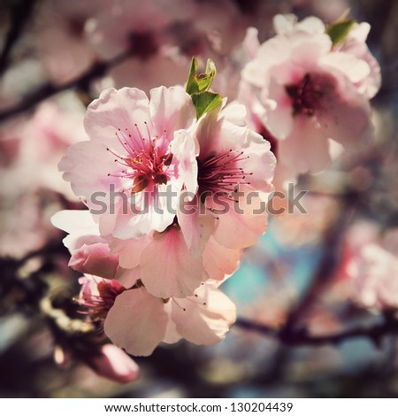 vintage cherry blossom flowers close up - stock photo