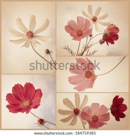 Vintage collage of Cosmos flowers. Art floral background with paper texture overlay. Retro style. - stock photo