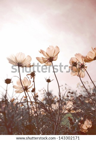 Vintage Cosmos flowers in sunset time - stock photo