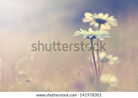 vintage daisy chamomile flowers field at sunrise - stock photo