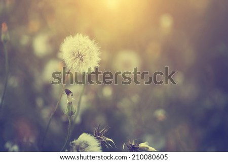 Vintage dandelion - stock photo