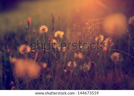 Vintage dandelion field - stock photo
