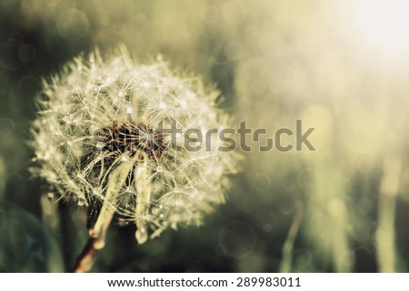 Vintage dandelion on a green background - stock photo