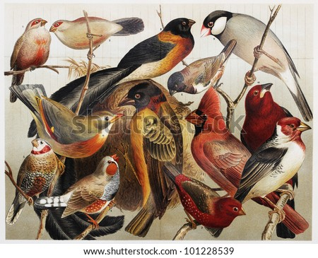 Vintage drawing representing exotic cage birds at the end of 19th century - Picture from Meyers Lexicon books collection (written in German language) published in 1908, Germany. - stock photo