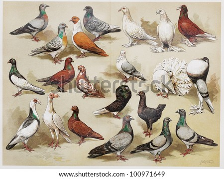 Vintage drawing representing house pigeons at the end of 19th century - Picture from Meyers Lexicon books collection (written in German language) published in 1908, Germany. - stock photo